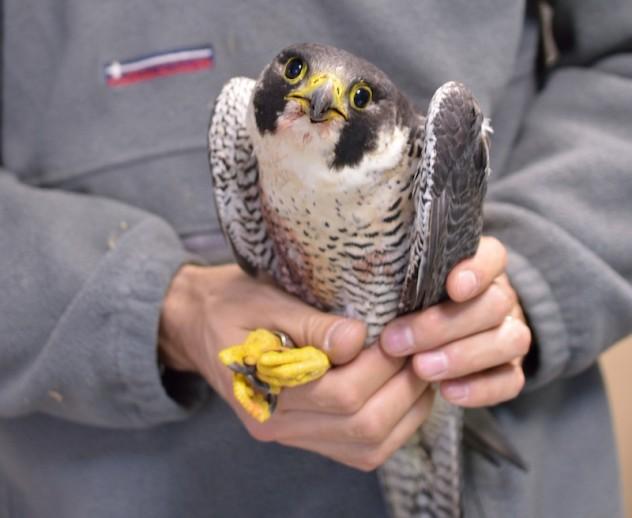 falco pellegrino Zandobbio