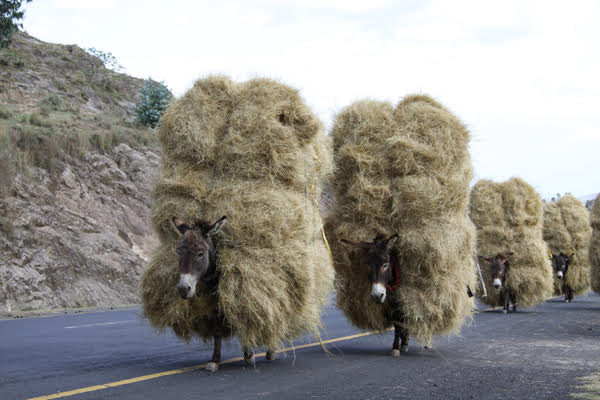 Heavily overloaded donkeys carrying straw, Ethiopia