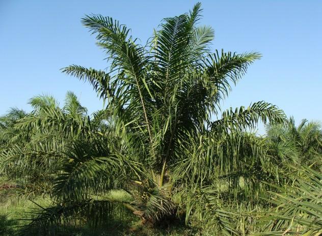 oil-palm-287899_1280