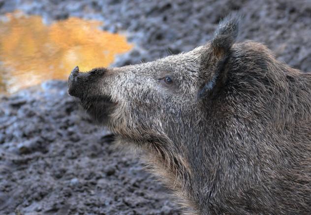 boar-614729_1280