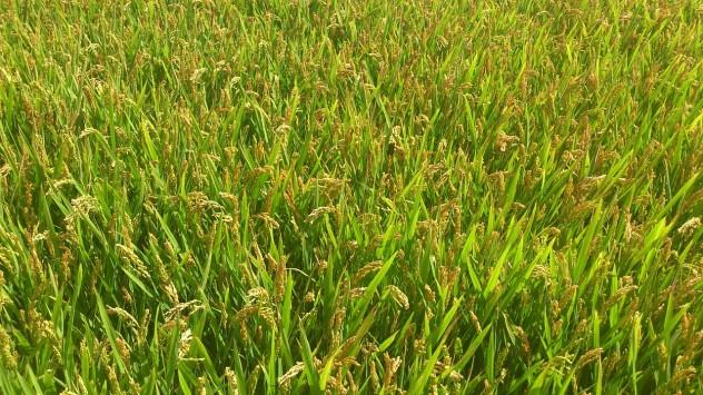 cornfield-441842_1280