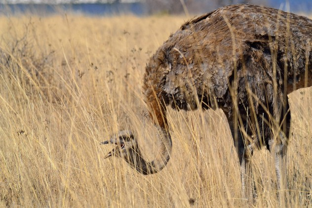 ostrich-384157_1280