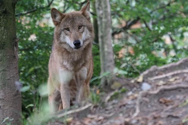 wolf-931227_1280