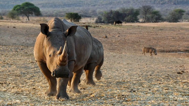 rhino-1170132_1280