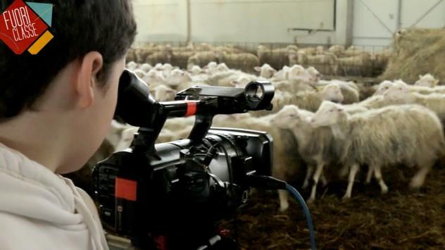 Ronta-ripresa-pecore