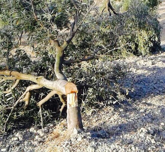 attentato GOEL Bio 1_alberi abbattuti