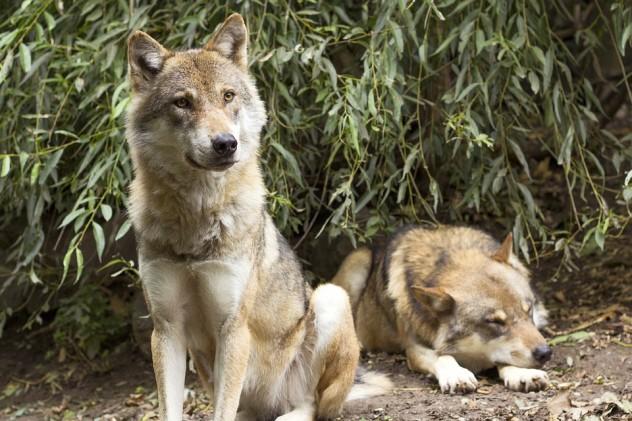 wolf-1384940_960_720