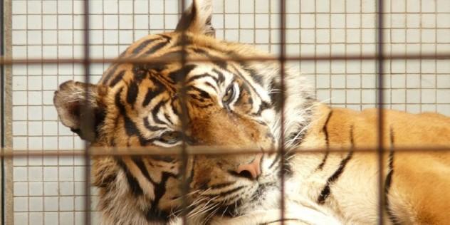 sequestrati-animali-del-circo-carini-410