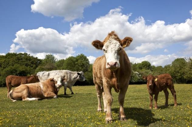 mucche-al-pascolo-2-800x531