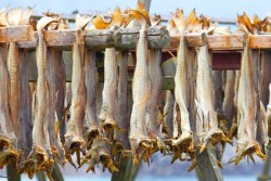 Cod stockfish.Industrial fishing in Norway