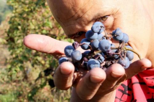 Giorgio-Mercandelli con un grappolo delle sue uve per il vino biotico naturale (giorgiomercandelli.it)