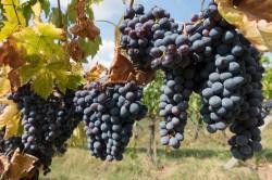 winegrowing-972891_1920