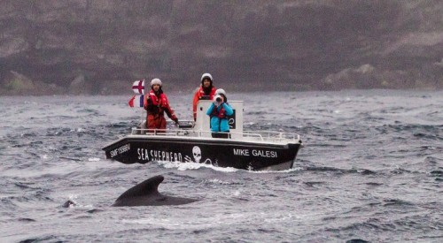Pod-of-Whales-Rescued-by-Sea-Shepherd-Activists-in-the-Faeroe-Islands-453244-2