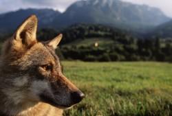 Captive Eurasian Wolf, Romania