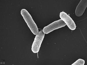 La Salmonella Typhi vista al microscopio (da Wikimedia)