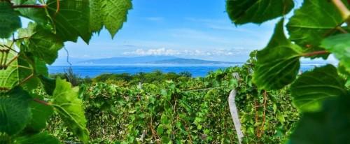 vigne del progetto «Ocoa Bay» nella Repubblica Domenicana, che ha iniziato a produrre vino circa 500 anni fa