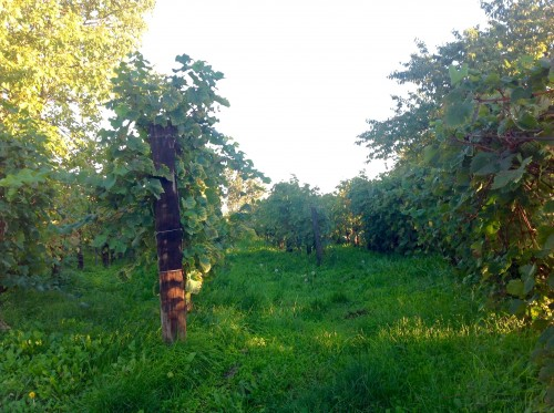 Le vigne di Zidarich