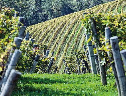 Le vigne di Gravner ad Oslavia