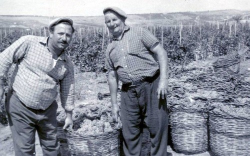 La prima vendemmia della Cantina Settesoli, nel 1965