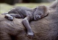 Thumbnail image for western-gorilla.jpg