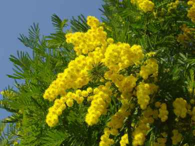 pianta-di-mimosa.jpg