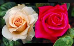 rose x f. mamma.jpg