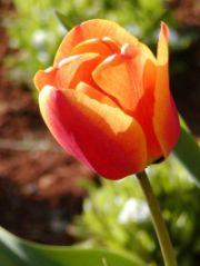 tulipano giusto.jpg