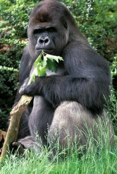 Gorilla 1 reuters A.jpg