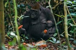 Gorilla 3 reuters A.jpg