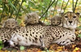 Ghepardi Serengeti A.jpg